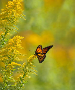 Monarch_Butteryfly2